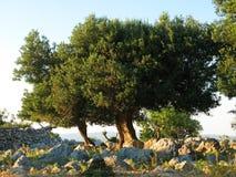 Vieil olivier sur l'île de PAG Image stock