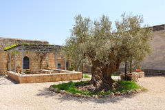 Vieil olivier Image libre de droits