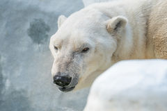 Vieil ours blanc Images libres de droits