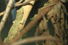 Free Vieillard Chamaeleon Gecko Royalty Free Stock Photo - 107691085