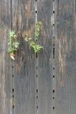 Vieille barrière en bois grise avec des usines verticales photos stock