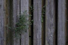 Vieille barrière superficielle par les agents en bois de pin inextricable avec le feuillage photos libres de droits