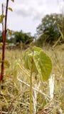 Vieille beauté sauvage de rizière Image stock