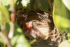 Vieille bouche cardinale de deux jours de birdwith ouverte Image stock