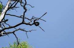 Vieille branche d'arbre malade enroulée sur le fond de ciel Photographie stock