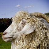 Vieille chèvre Photographie stock