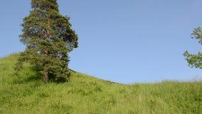 Vieille colline de pins clips vidéos