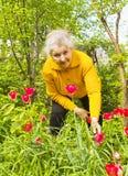 Vieille dame dans le jardin avec des tulipes Photographie stock