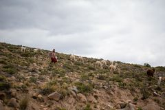 Vieille dame péruvienne maintenant ses alpaga, lamas et moutons dans chivay, Arequipa, Pérou sur le 20ème de mars 2019 photo stock
