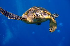 Vieille et curieuse tortue images stock
