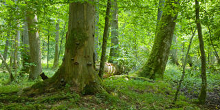 Vieille forêt avec le bois mort Photos libres de droits