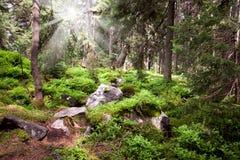 Vieille forêt dans la montagne - pierres, mousse, rayons de soleil et pin Images stock