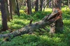 Vieille forêt de montagne avec la myrtille et le tronc d'arbre tombé Images libres de droits
