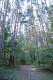Vieille forêt de pin image stock