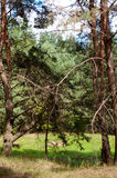 Vieille forêt de pin photographie stock libre de droits