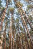 Vieille forêt de pin d'automne photo stock