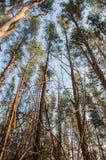 Vieille forêt de pin d'automne photos libres de droits