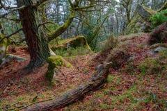 Vieille forêt de pin dans les montagnes Image libre de droits