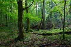 Vieille forêt enveloppée de charme par mousse au printemps photographie stock libre de droits