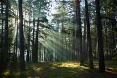 Vieille forêt brumeuse brumeuse au lever de soleil Images stock