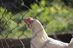 Vieille garde de rabitz en métal avec le poulet blanc marchant à l'intérieur images libres de droits