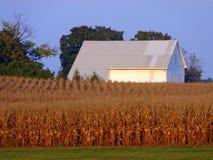 Vieille grange blanche avec le champ de maïs de récolte Photographie stock libre de droits