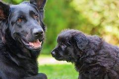 Vieille mère et chiot de berger allemand Photo libre de droits