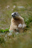 Vieille marmotte dans l'herbe de la roche e Photographie stock