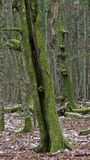 Vieille mousse d'arbres de charme couverte dans le printemps Image libre de droits