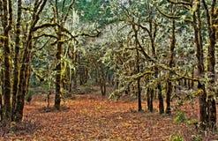 Vieille mousse HDR de région sauvage de chêne photographie stock libre de droits