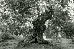Vieille olive Image libre de droits