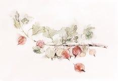 Vieille peinture d'aquarelle rouge de groseilles à maquereau Photographie stock libre de droits