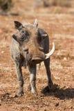 Vieille phacochère avec un sembler de dent fatigué Photographie stock