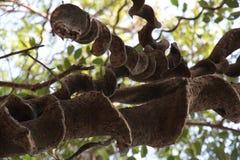 Vieille plante grimpante sauvage classée superbe photos libres de droits