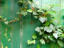 Vieille porte verte envahie par le fond sauvage de lierre images stock