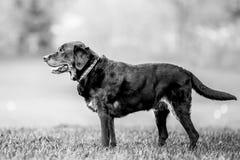 Vieille position noire même de Labrador sur l'herbe regardant au côté photos libres de droits