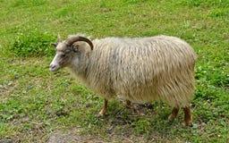Vieille race norvégienne de moutons (Villsau) Photographie stock libre de droits