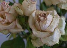 Vieille Rose Past Its Prime Viewed blanche à partir de dessus photographie stock