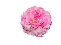 Vieille rose rose de jardin d'isolement sur le fond blanc Image libre de droits