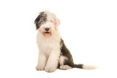 Vieille séance anglaise d'adulte de chien de moutons jeune et parement de l'appareil-photo photographie stock