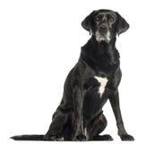 Vieille séance de chien, d'isolement image libre de droits