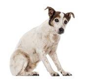 Vieille séance de Jack Russell Terrier, regardant l'appareil-photo images libres de droits
