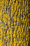 Vieille texture d'écorce de bouleau Photos stock