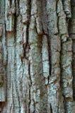Vieille texture d'écorce de chêne Images libres de droits