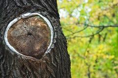 Vieille texture en bois de boucles d'arbre Photographie stock