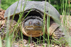 Vieille tortue étant enclenchée Photo libre de droits