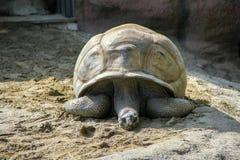 Vieille tortue Photo stock