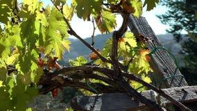 Vieille vigne en Cisjordanie banque de vidéos