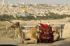 Vieille ville de Jérusalem avec un chameau Images libres de droits