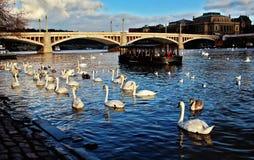 Vieille ville de Prague Vue sur la rivière de Vltava avec des cygnes Photo libre de droits